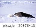 タテゴトアザラシの親子 20676413
