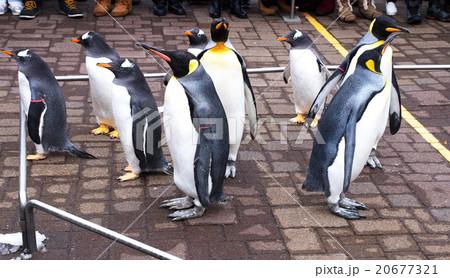 ペンギンのお散歩 20677321
