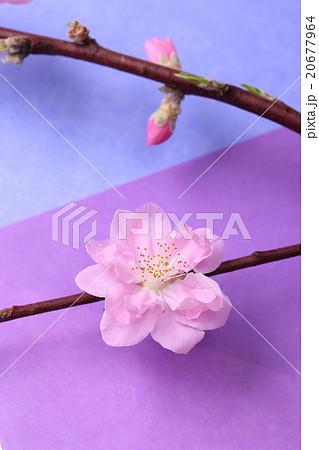 花 折り紙 桃の花 折り紙 : pixta.jp