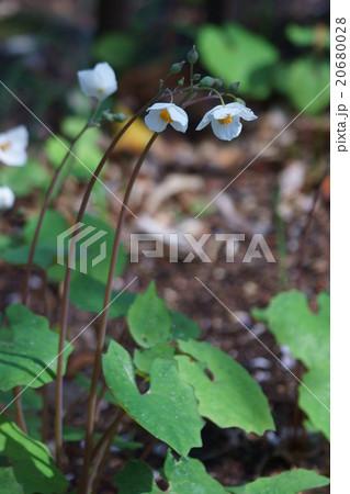 白雪芥子シラユキゲシ 花言葉は「清純な誘惑」 20680028