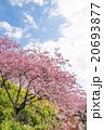 河津桜 桜 花の写真 20693877