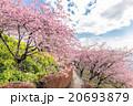河津桜 桜 花の写真 20693879