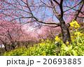 河津桜 桜 花の写真 20693885