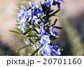 ローズマリー(立性) 20701160