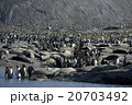 キングペンギン オウサマペンギン サウスジョージア島の写真 20703492