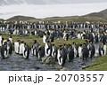 キングペンギン オウサマペンギン サウスジョージア島の写真 20703557