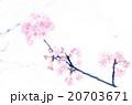 桜 20703671