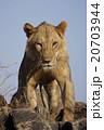 ライオン 20703944