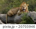 ライオン 20703946