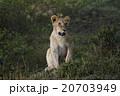 ライオン 20703949