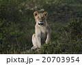ライオン 20703954