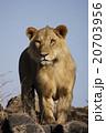 ライオン 20703956