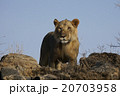 ライオン 20703958