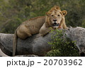 ライオン 20703962