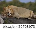 ライオン 20703973