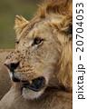 ライオン 20704053