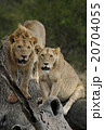 ライオン 20704055