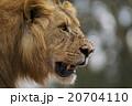 ライオン 20704110