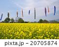 菜の花とこいのぼり 20705874