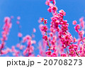 梅 梅林 梅の林 たくさんの花 春の観光スポット 熱海の観光スポット 空 紅梅 桃色 20708273