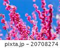 梅 花 植物の写真 20708274