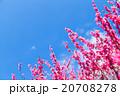 梅 梅林 梅の林 たくさんの花 春の観光スポット 熱海の観光スポット 空 紅梅 桃色 20708278