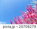 梅 花 植物の写真 20708279