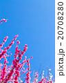 梅 花 植物の写真 20708280