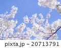 桜 20713791