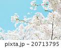 桜 20713795
