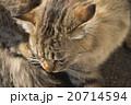 猫 20714594