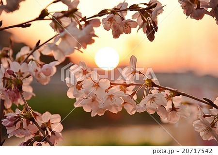 夕日と桜ーさくら 20717542