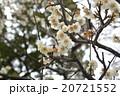 梅の花 20721552