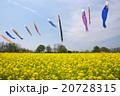 菜の花とこいのぼり 20728315