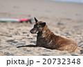 見つめる犬 20732348