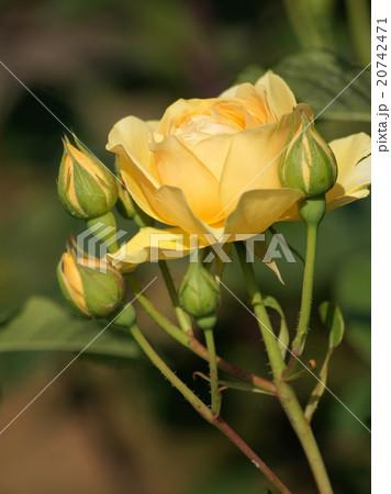 黄色いカップ咲きのバラ 20742471