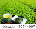 新茶と色鮮やかな茶畑 20744997