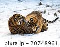 雪の上で遊ぶ幼いトラの姉妹 20748961