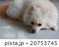 わんこ 犬 ホワイトの写真 20753745