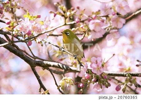 河津桜の花とメジロ 20760365