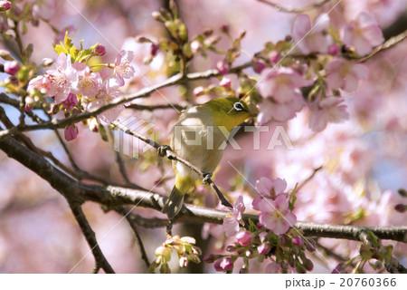 河津桜の花とメジロ 20760366