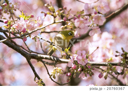 河津桜の花とメジロ 20760367