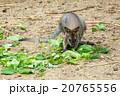 ワラビー 動物 哺乳類の写真 20765556
