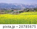菜の花と千曲川 20785675