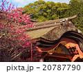 太宰府天満宮本殿と梅の花 20787790
