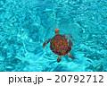 宮古島の海にいたウミガメ 20792712