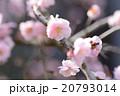 薄桃色の梅の花 20793014