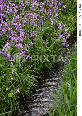 川辺に咲く花大根 20793768