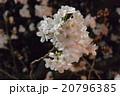 夜桜 20796385