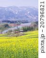 菜の花と千曲川 20796821